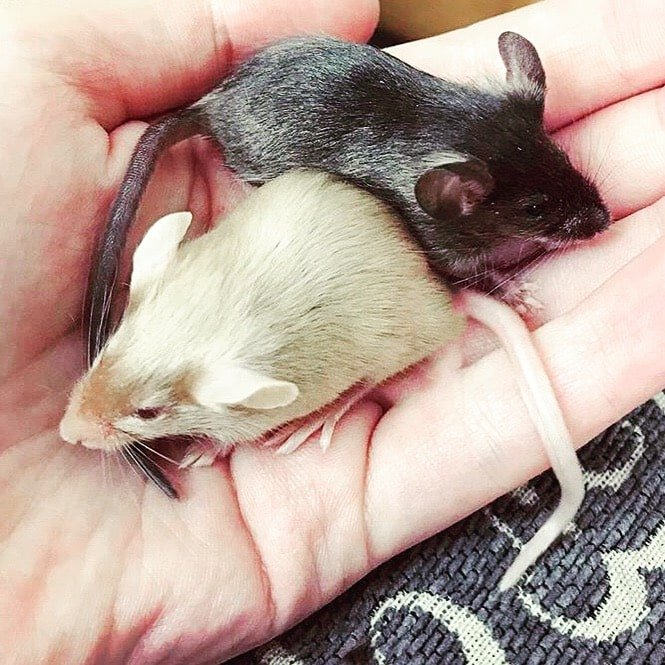 dierenopvangoostnederland rijssen muizen
